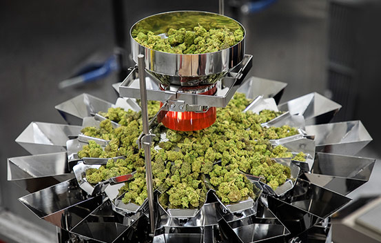 Cannabis being weighed on micro weigher for packaging